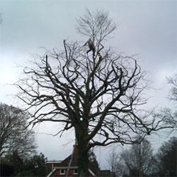 Treewerx - crown thinning